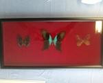 Schmetterlinge auf rotem Samt.jpg